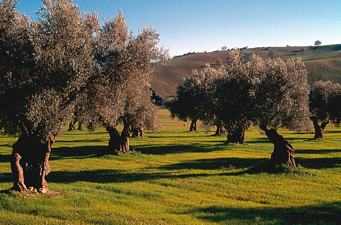 Olio Extravergine di Oliva Toscana Firenze - Poggitazzi